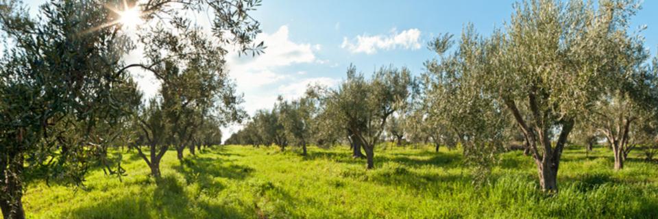 Οι ποικιλίες ελιάς που μπορούν να καλλιεργηθούν στην περιοχή μας και βασικές πληροφορίες για όλα όσα πρέπει να γνωρίζουν οι παραγωγοί.